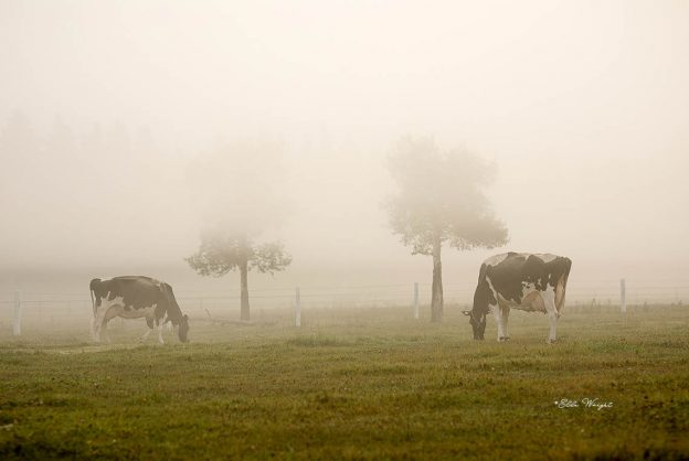 Cows in the fog in the pasture